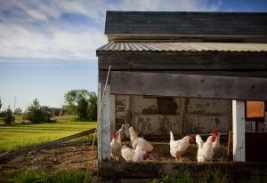 hühnerstall-bauanleitung *